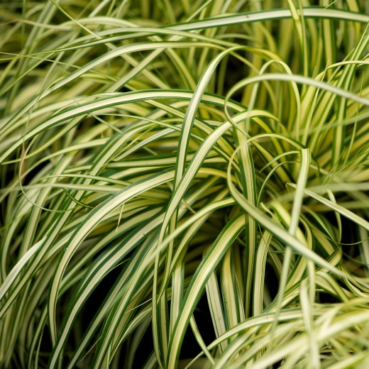 Carex oshimensis 'Evergold' (bontbladige Japanse zegge, Japan Segge, Evergreen Japanese Sedge)