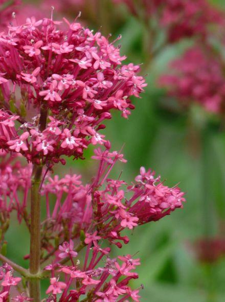 Centranthus ruber 'Coccineus' (Spoorbloem, Rode valeriaan)