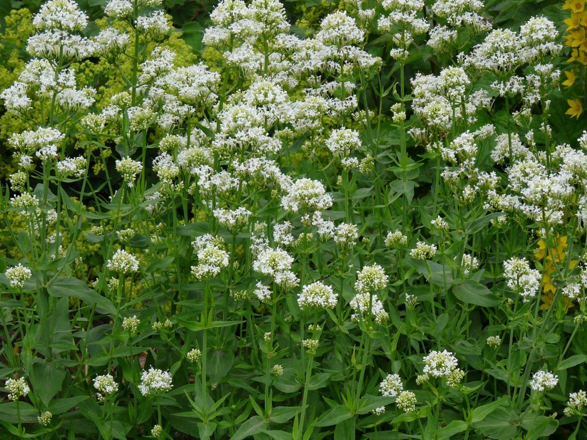Centranthus ruber 'Albus' (Witte spoorbloem, Rode valeriaan)