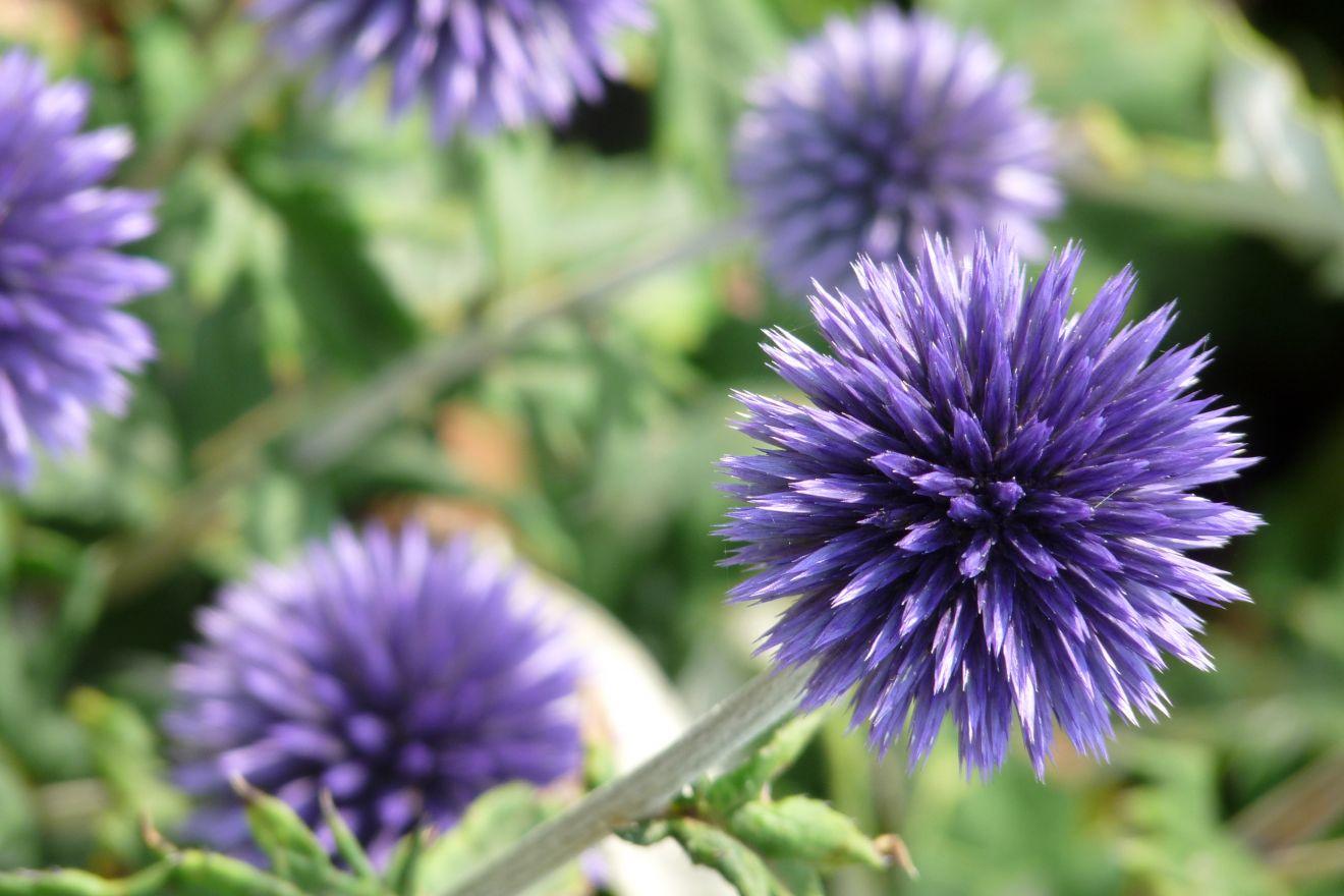 Echinops ritro 'Veitch's Blue' (Kogeldistel)
