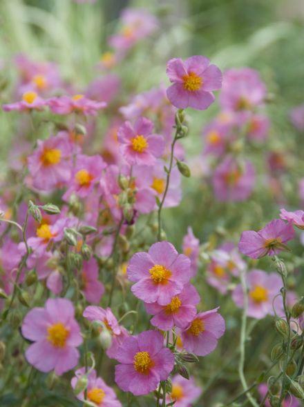 Helianthemum 'Lawrenson's Pink' (Zonneroosje)