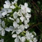 Hesperis matronalis 'Alba' (Damastbloem) - p9
