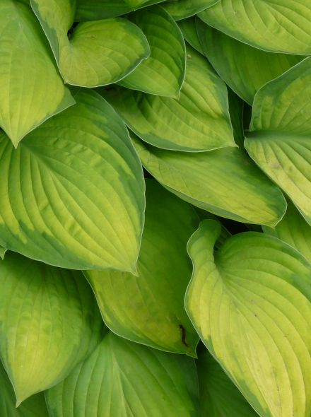 Hosta 'Gold Standard' (Hartlelie)