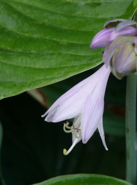 Hosta fortunei 'Hyacinthina' (Hartlelie)