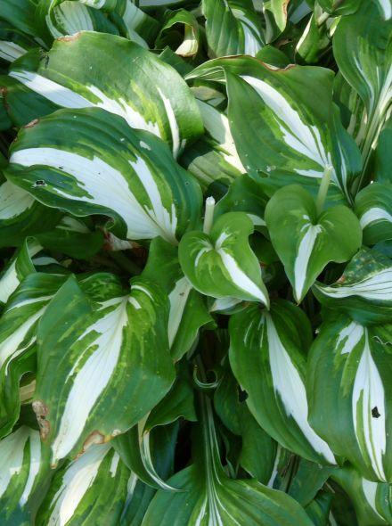 Hosta undulata 'Mediovariegata' (Hartlelie)