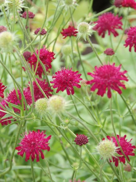 Knautia macedonica (Beemdkroon)