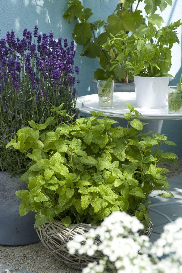 Lavandula angustifolia 'Hidcote' (Lavendel)
