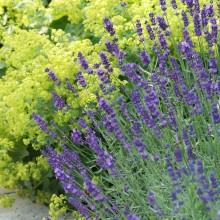 Lavandula angustifolia 'Munstead' (Lavendel) - p9