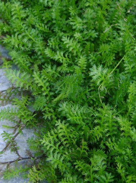 Leptinella squalida (Koperknoopje, Cotula squalida)