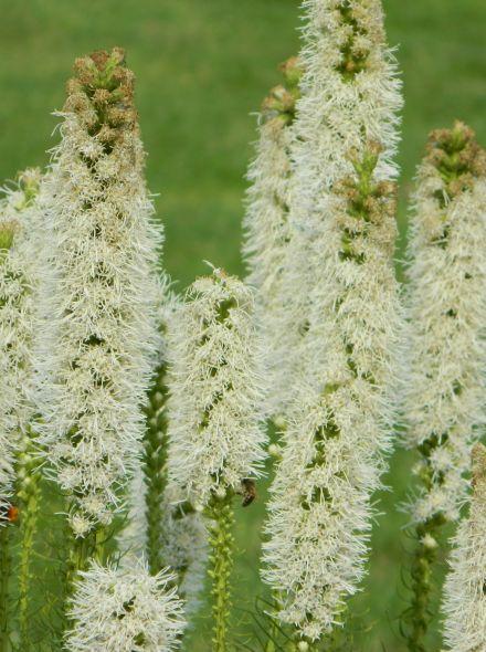 Liatris spicata 'Alba' (Lampenpoetser, knopige slangenwortel)