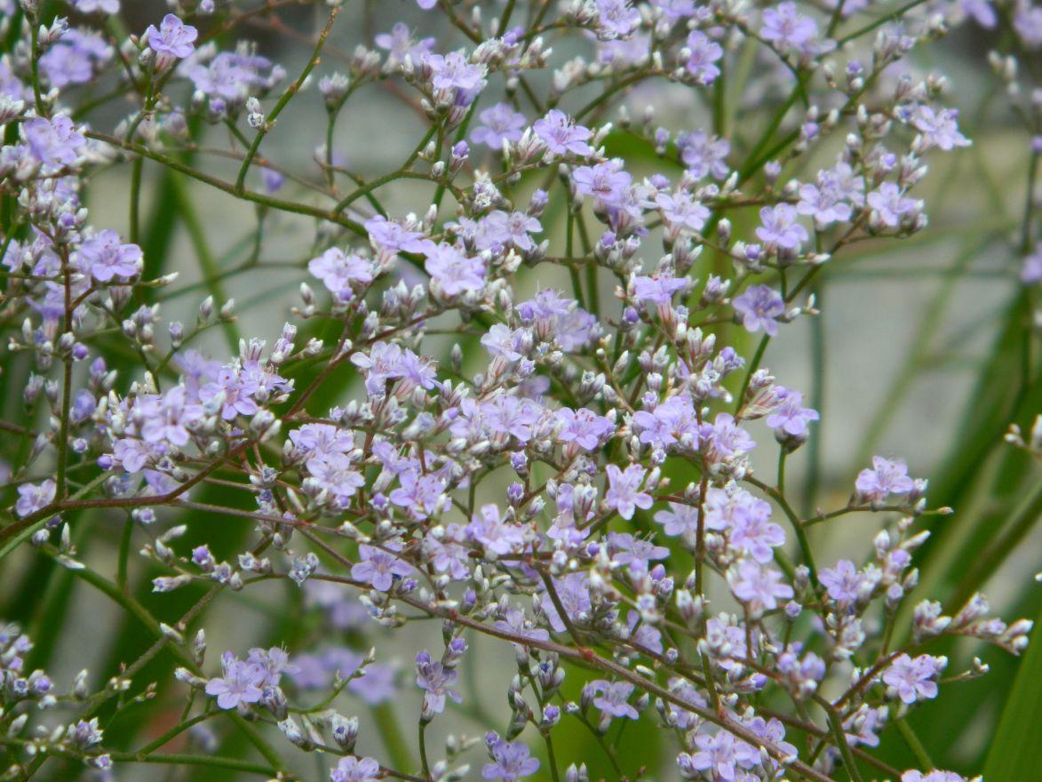 Limonium latifolium (Lamsoor)