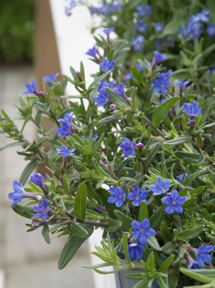 Lithodora diffusa 'Heavenly Blue' (Steenzaad, Parelzaad)
