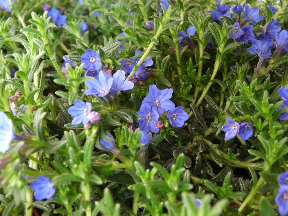 Lithodora diffusa 'Heavenly Blue' (Steenzaad, Parelzaad)