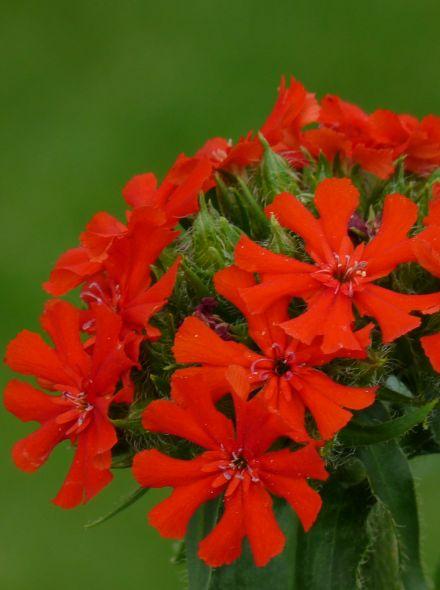 Lychnis chalcedonica (Brandende liefde)