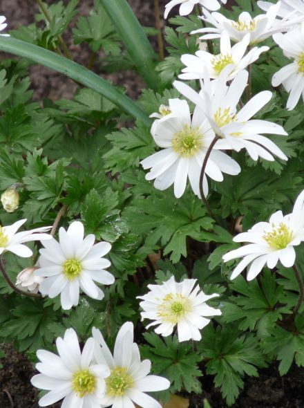 Anemone blanda 'White Splendour' (Oosterse anemoon)