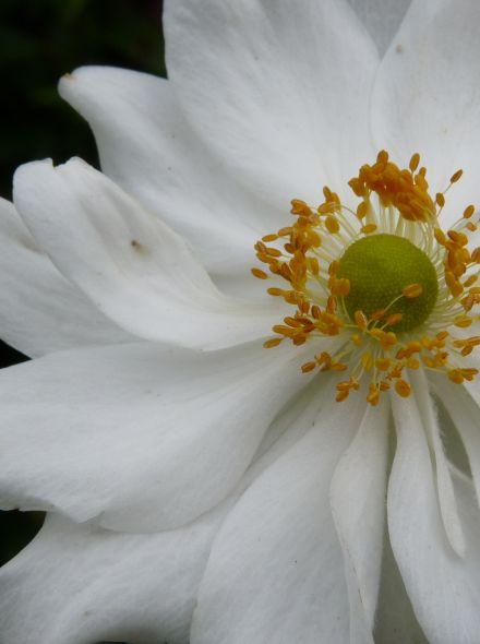 Anemone hybrida 'Whirlwind' (Herfstanemoon)