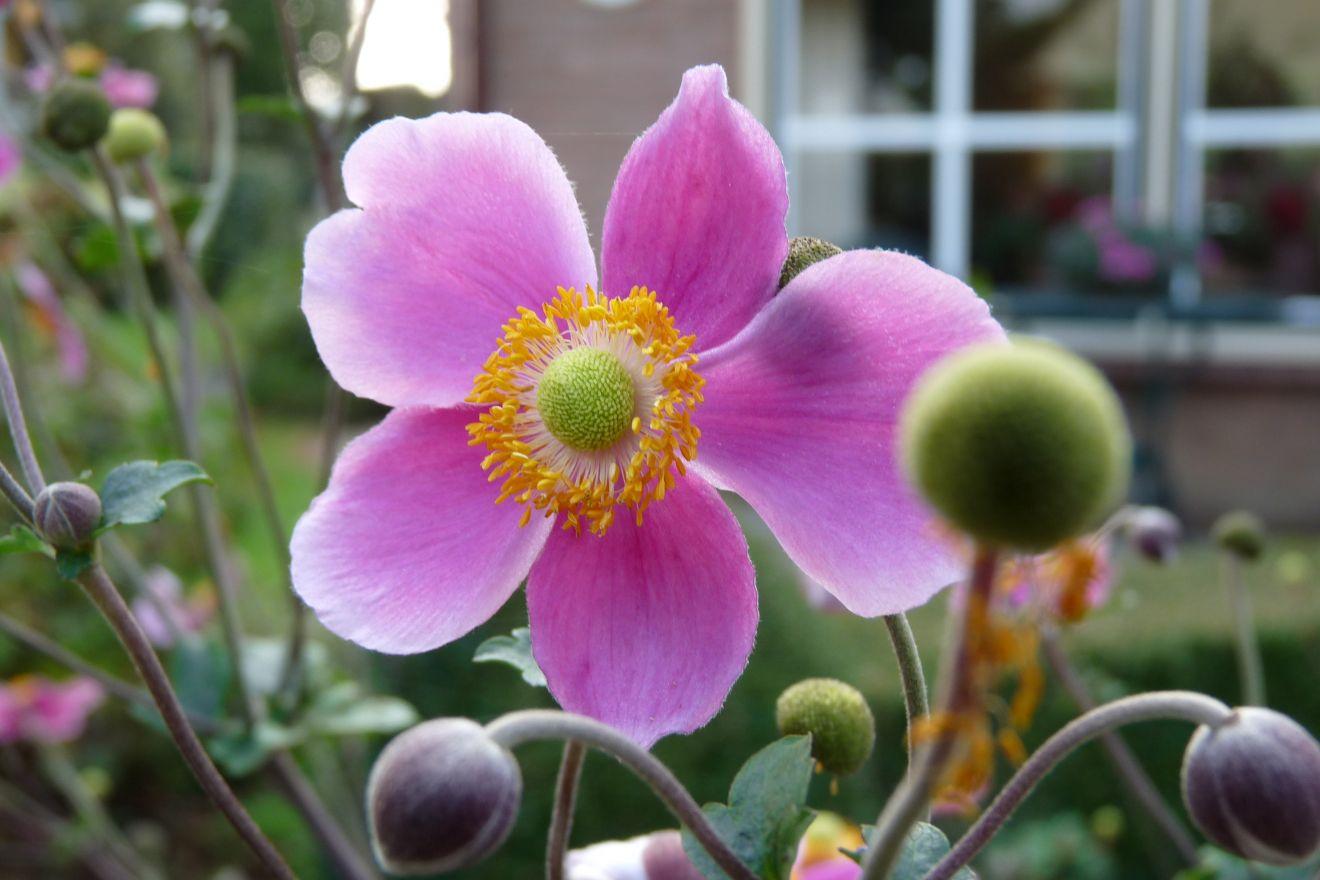 Anemone hupehensis Praecox (Herfstanemoon)