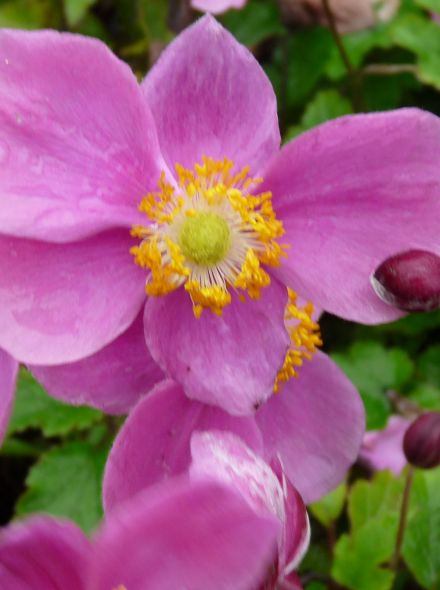 Anemone hybrida 'Hadspen Abundance' (Herfstanemoon)