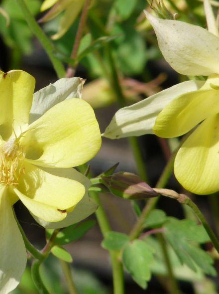 Aquilegia chrysantha 'Yellow Queen' (Akelei)