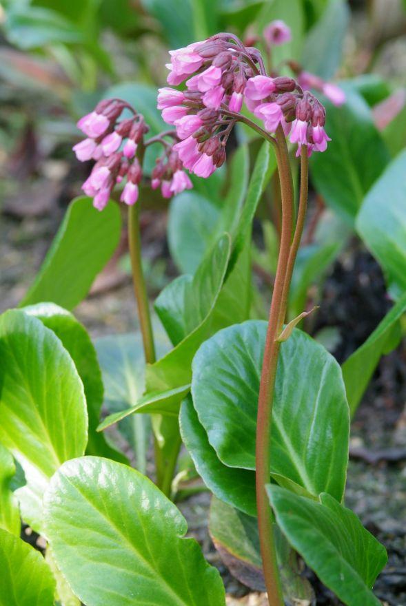 Bergenia 'Wintermarchen' (schoenlappersplant)