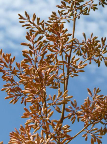 Macleaya cordata 'Kelway's Coral Plume' (Pluimpapaver)