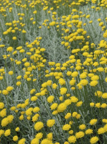 Santolina chamaecyparissus (Heiligenbloem, cypressenkruid)