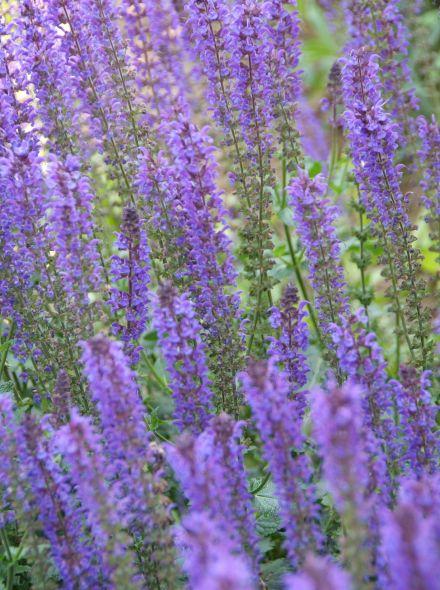 Salvia nemorosa 'Mainacht' (Salie, Bossalie)