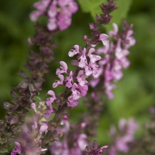 Salvia nemorosa 'Sensation Deep Rose' (Salie, Bossalie)