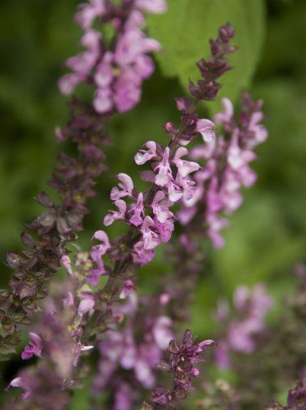 Salvia nemorosa 'Sensation Deep Rose' (Salie, Bossalie)