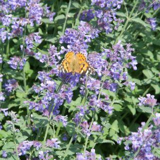 Salvia nemorosa 'Blaukonigin' (Salie, Bossalie)