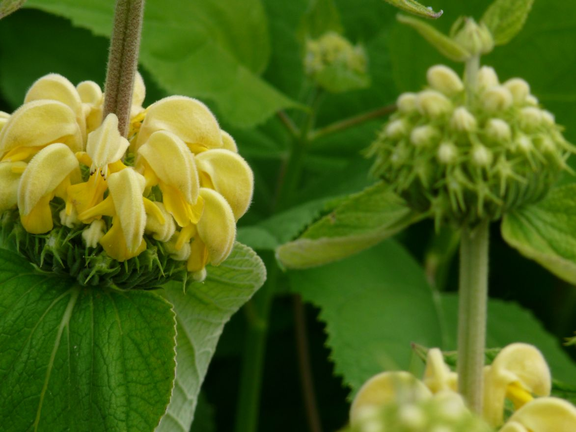 Phlomis russeliana (Brandkruid, Etagebloem, Viltkruid)