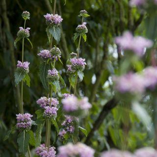 Phlomis tuberosa (Brandkruid, Etagebloem, Viltkruid)
