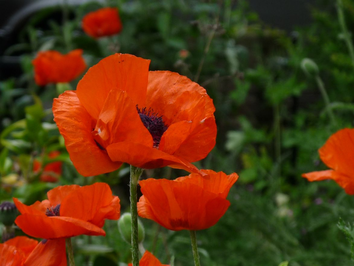 Papaver orientale 'Beauty of Livermere' (Oosterse papaver, Rode papaver)