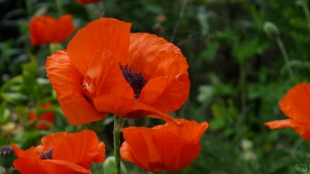 Poppies zaad