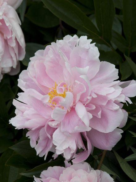 Paeonia 'Sarah Bernhardt' (lichtroze pioenroos)