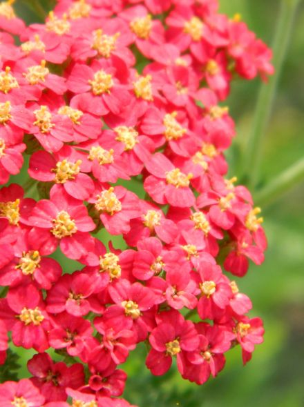 Achillea millefolium 'Red Beauty' (Duizendblad)