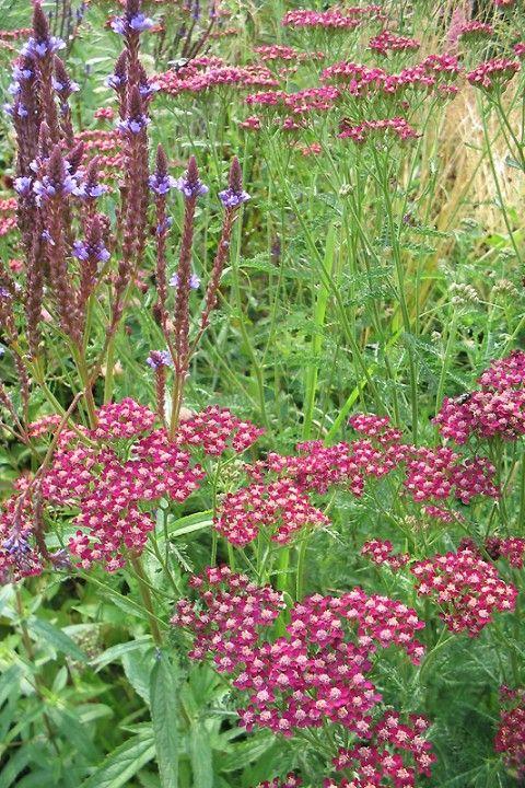Achillea millefolium 'Summerwine' (Duizendblad)