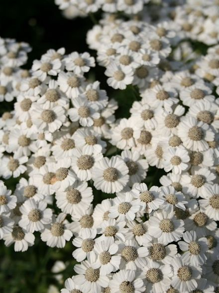 Achillea ptarmica 'Nana Compacta' (Wilde Bertram, Duizendblad)