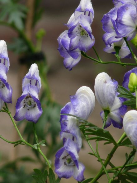 Aconitum cammarum 'Bicolor' (Monnikskap)