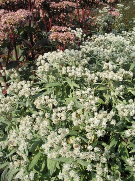 Anaphalis triplinervis 'Sommerschnee' (Siberisch edelweiss)