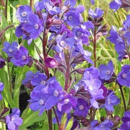 Anchusa azurea 'Loddon Royalist' (Ossetong)