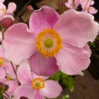 Anemone hupehensis 'September Charm' (Herfstanemoon) - p9