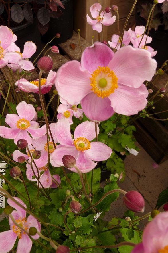 Anemone hupehensis 'September Charm' (Herfstanemoon)