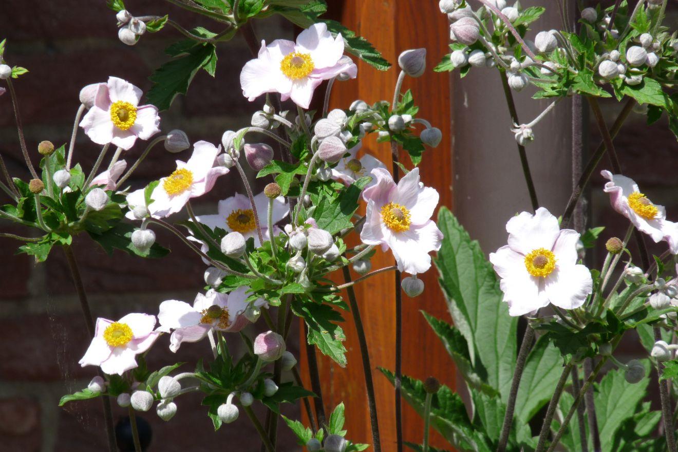 Anemone hybrida 'Richard Ahrens' (Herfstanemoon)