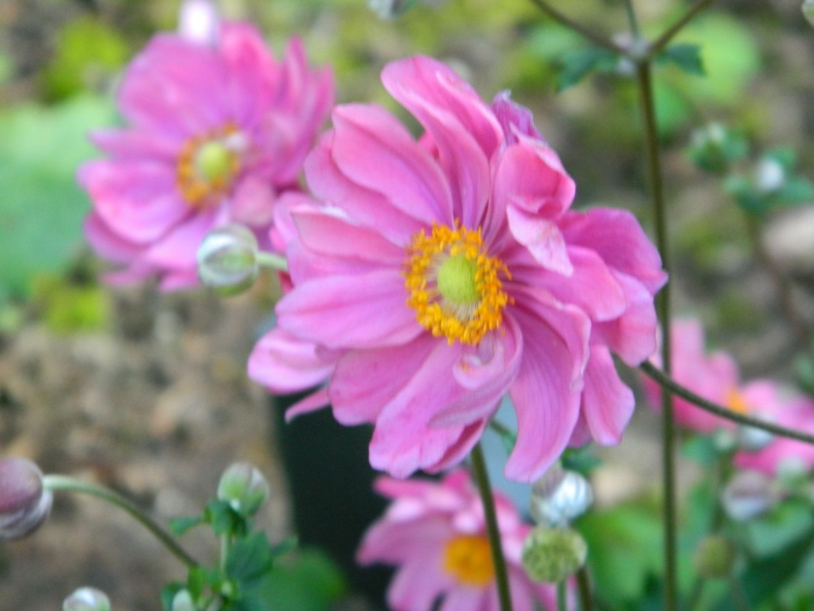 Anemone hybrida 'Serenade' (Herfstanemoon)