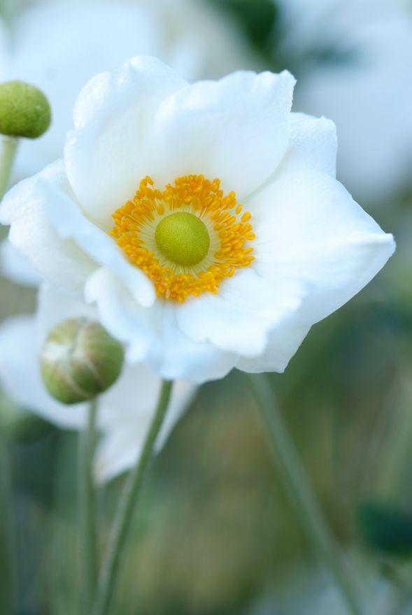 Anemone Hybrida Honorine Jobert Witte Herfstanemoon Herbst Anemone