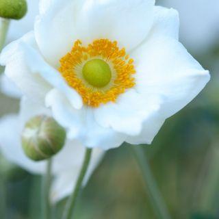 Anemone hybrida Honorine Jobert (witte Herfstanemoon, Herbst-Anemone, Chinese anemone, Japanese anemone windflower)