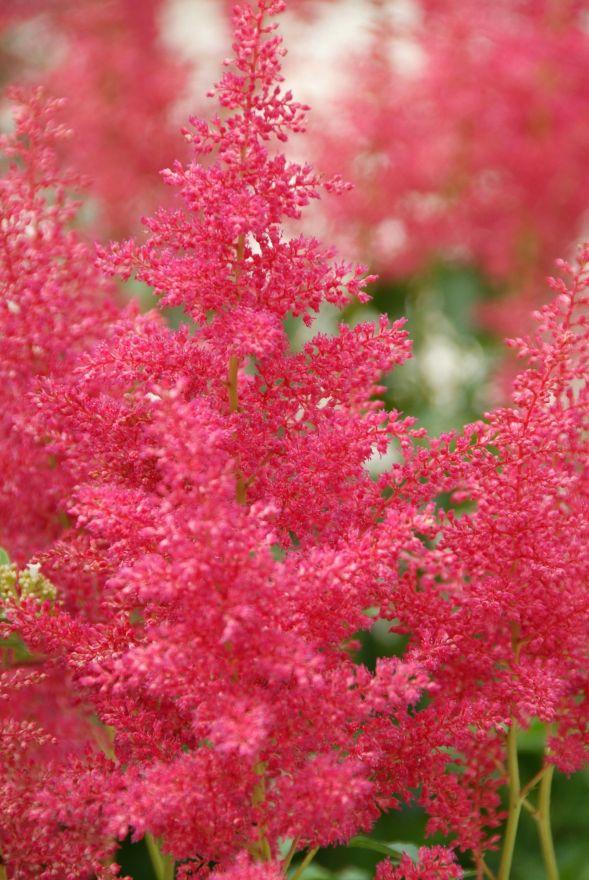 Astilbe japonica Red Sentinel (Pluimspirea, prachtspirea)