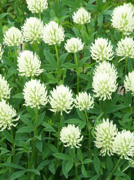 Trifolium ochroleucon (Geelwitte klaver, klaver)