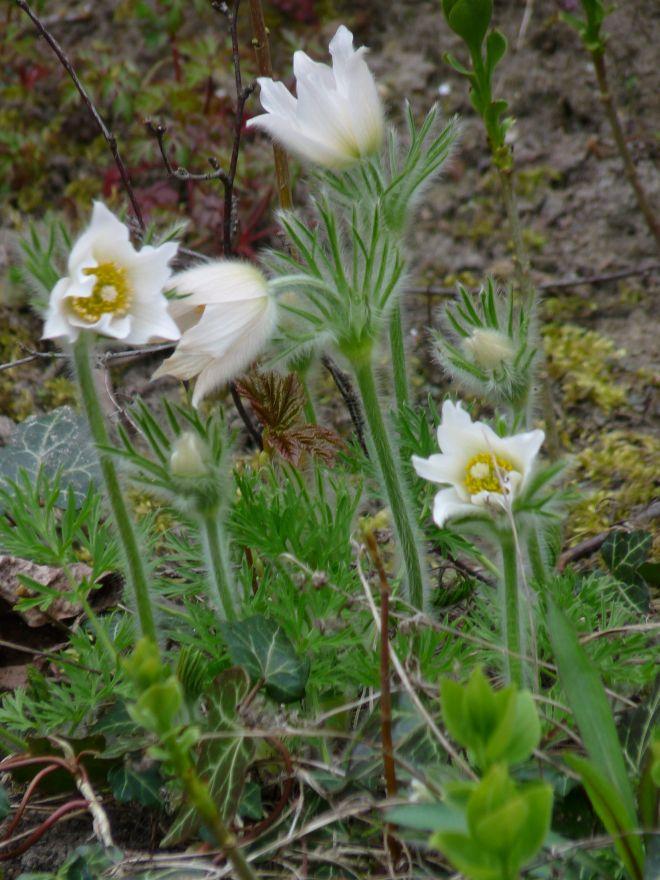 Pulsatilla vulgaris 'Alba' (Witte Wildemanskruid)